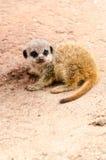 婴孩Meerkat幼小小狗猫鼬哺乳动物的垂直 图库摄影