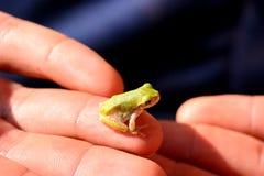 婴孩treefrog (杂色的雨蛙) 免版税库存图片