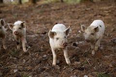 婴孩Turopolje猪 免版税图库摄影