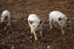 婴孩Turopolje猪 图库摄影