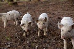 婴孩Turopolje猪 库存照片