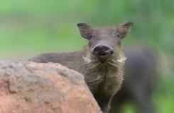 婴孩warthog在克鲁格公园 库存图片