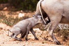 婴孩warthog幼儿 库存照片