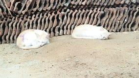 孪生懒惰猫在一种恼怒的心情睡觉 免版税图库摄影