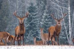 孪生 两头反对冬天桦树森林的鹿男性鹿Elaphus和牧群的模糊的剪影的惊人图象:一只雄鹿C 图库摄影