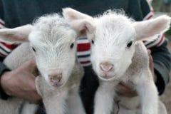 孪生绵羊 免版税库存照片