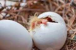 孵化从在巢的鸡蛋的鸽子发出短促刺耳声物 免版税库存图片
