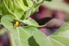 孵化在叶子的瓢虫 免版税库存照片