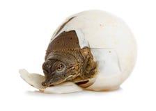 孵化多刺的Softshell乌龟-前面左边 库存图片
