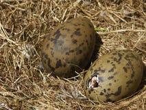 孵化海鸥的小鸡 免版税库存图片