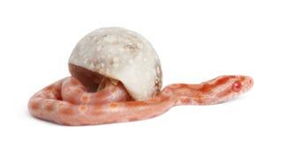 孵化玉米的蛇, Pantherophis guttatus 免版税图库摄影