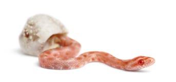 孵化玉米的蛇, Pantherophis guttatus 免版税库存照片