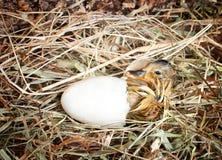 孵化鸭子 免版税库存照片