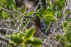 孵化绿色的苍鹭, J n 丁亲爱的全国野生生物 免版税图库摄影
