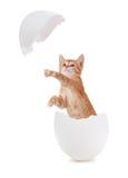 孵化从鸡蛋的逗人喜爱的橙色小猫。 免版税库存照片