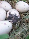 孵化weka的鸡蛋 库存照片