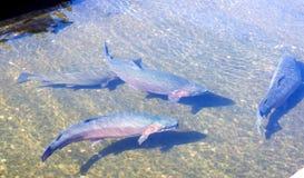 孵卵站鳟鱼。在一个具体水池的大鱼 免版税库存照片