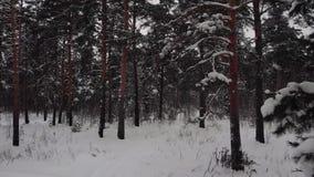 宁静的夜晚冷淡的森林 股票录像