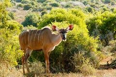 它不是我-更加伟大的Kudu -非洲羚羊类弯角羚类 免版税库存照片