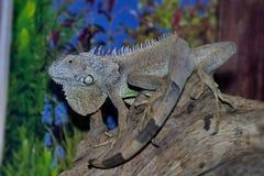 一只普通的鬣鳞蜥或者一只绿色鬣鳞蜥是一只大食草蜥蜴,带领每日木质的生活 它住在中美洲 库存图片