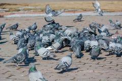 它是很多鸽子 库存照片