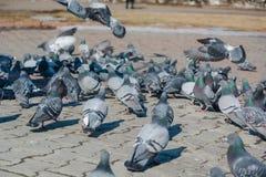 它是很多鸽子 免版税库存图片