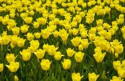 它是很多黄色郁金香 免版税库存照片
