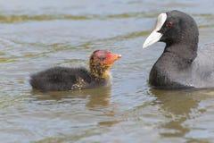它的南安普敦共同性的父母哺养的老傻瓜小鸡 库存照片
