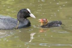它的南安普敦共同性的父母哺养的老傻瓜小鸡 免版税库存照片