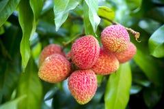 它的在ranisonkoil, thakurgoan,孟加拉国的lychee采摘时间 库存图片