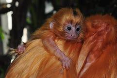它的父亲的一个金黄狮子绢毛猴婴孩支持 库存照片