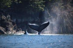 它` s传说尾巴的鲸鱼 驼背鲸 免版税库存照片