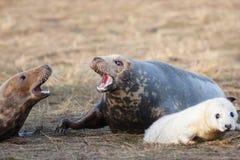 它prorected的灰色小海豹是母亲 库存照片