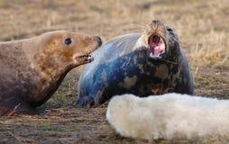 它prorected的灰色小海豹是母亲 免版税库存照片