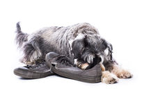守卫一个对老鞋子的髯狗 库存图片