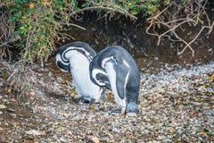 守卫他们的巢,小猎犬香奈儿, Patagoni的Magellanic企鹅 库存照片