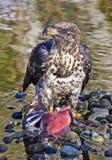 守卫他的三文鱼的白头鹰 免版税库存照片