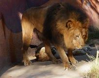 守卫他的狮子男的女性 免版税库存照片