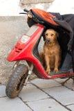 守卫其重要资料的摩托车的狗 免版税图库摄影