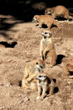 守卫嗅suricates的meerkats 库存照片