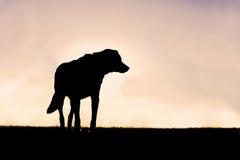 守卫在S的保持平衡的德国牧羊犬混合狗剪影  免版税库存图片