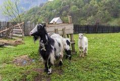 守卫她的婴孩的山羊母亲 图库摄影