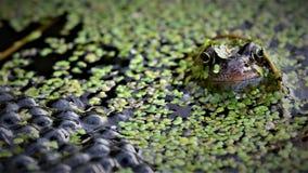 守卫它的产生物的共同的青蛙,在庭院池塘 免版税库存图片
