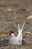 守卫它的巢的北极燕鸥 库存图片