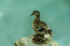 守卫它的鸭子是小鸡 图库摄影
