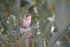 守卫巢的母亲蜂鸟 库存照片