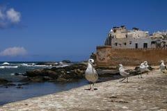 守卫摩洛哥城堡的海鸥由海 库存图片