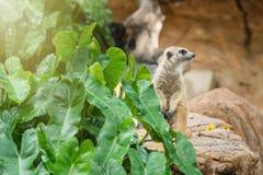 守卫注意的meerkat 泰国 免版税库存图片