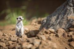 守卫注意的meerkat 库存照片