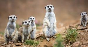 守卫注意的meerkats 库存照片